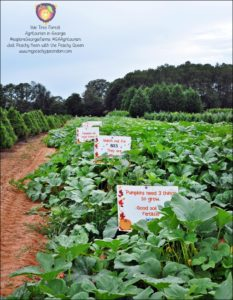 Pumpkin fields at Yule Forest, Stockbridge, GA #exploreGeorgiaFarms #GAAgritourism - Just Peachy Keen with the Peachy Queen www.stayinpeachy.com